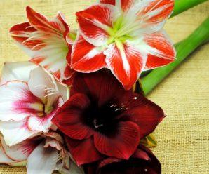 Амариллис: уход в домашних условиях, выращивание и фото