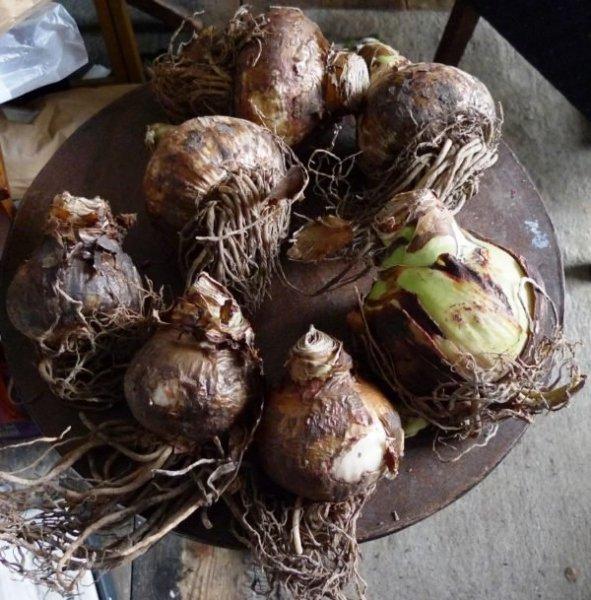Луковицы амариллиса