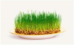 Польза проростков пшеницы для волос